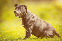 Old dog sitting in sunshine Stock Photography