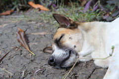 The old dog are sleep Royalty Free Stock Images