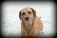 Old dog in snow Stock Images