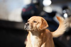 An old dog with steady eyes. In Beijing street royalty free stock photography