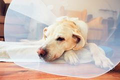 Old dog after surgery Royalty Free Stock Photos