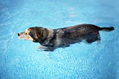 Old Dog Swimming in Backyard Swimming Pool for Exercise and Reha. An old mix breed dog is swimming in the clear water of a backyard swimming pool for exercise stock image