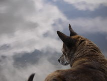Old Dog. Old terrier mix dog gazing into pond Stock Photo