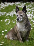 Old Dog. Old terrier mix dog sitting on daisy covered lawn Stock Image