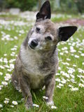 Old Dog. Old terrier mix dog sitting on daisy covered lawn Royalty Free Stock Photography