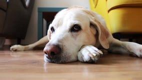 Old dog waiting at home