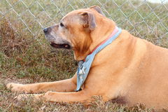 Old dog Royalty Free Stock Images