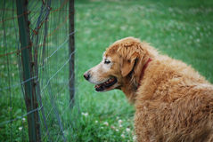 Old Dog Watching. Old golden retriever looking through an old wire fence Royalty Free Stock Photography