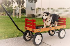 An old dog who is a bagel, beagle and basset mix, is taken for a walk in a wagon wheel by their loving owners as he longer can eas. Ily walk Stock Images