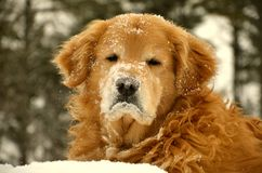 An old dog in the winter of NH Stock Photo