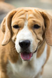 The old dogs beagle asia Royalty Free Stock Images
