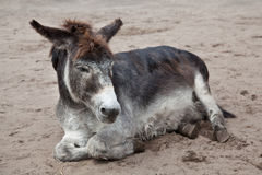 Old donkey lying in the sand Stock Image