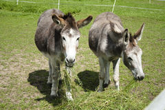 Old Donkeys eating Grass Stock Image