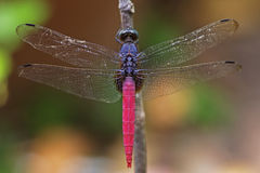 Old dragonfly Royalty Free Stock Photo
