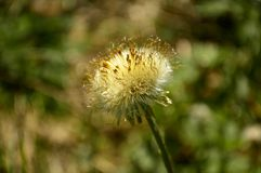 Old dried dandelion flower stock photo