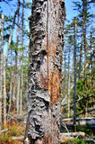 Old dried pine trunk Stock Photography