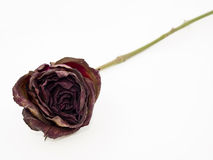 Old dried red rose against a white background Royalty Free Stock Images