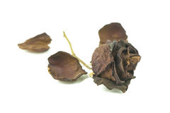 Old dried roses on a white Stock Photography