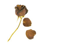 Old dried roses on a white Royalty Free Stock Photography