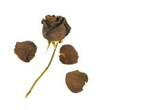 Old dried roses on a white Stock Photo