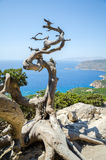 Old dried tree in front of the sea Stock Photography