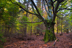 Old dried tree in middle of young forest. Pictured in autumn Royalty Free Stock Image