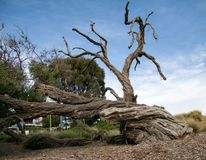 Old and Dried Tree near Brighton Beach, Melbourne stock photo