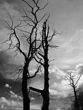 Old dried trees against  dark dramatic sky Royalty Free Stock Image