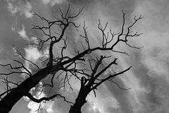 Old dried trees against dark dramatic sky Stock Photography