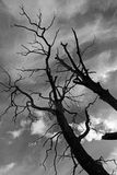 Old dried trees against  dark dramatic sky Royalty Free Stock Photography
