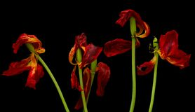 Old dried tulip Royalty Free Stock Photo