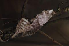Old dropped snake skin Royalty Free Stock Image