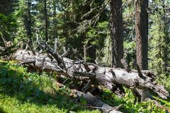 Old dry broken trees lay in coniferous forest. Altai Krai. Old dry broken trees lay in a coniferous forest. Altai Krai Stock Image