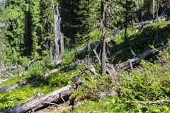 Old dry broken trees lay in coniferous forest. Altai Krai. Old dry broken trees lay in a coniferous forest. Altai Krai Royalty Free Stock Image