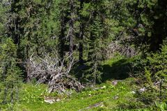 Old dry broken trees lay in coniferous forest. Altai Krai. Old dry broken trees lay in a coniferous forest. Altai Krai Royalty Free Stock Photo