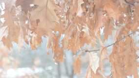 Old dry brown foliage of northern red oak blown by stock footage