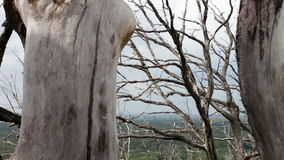 Old dry dead trees in the forest. Mystical atmosphere. ecological catastrophy. Movement of the camera on the slider. Curves of dried tree branches. Global stock video