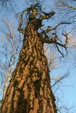 Old dry deciduous tree. With gnarled boughs Stock Images