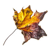 Old dry fallen autumn leaf Stock Photo