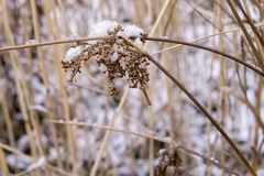 Old dry grass against white snow Royalty Free Stock Photography
