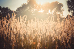 Old dry grass sways in the wind whisk toned. Filter Royalty Free Stock Image