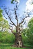 Old dry oak Royalty Free Stock Photos