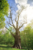 Old dry oak Royalty Free Stock Photography