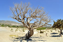 Old dry olive tree Stock Photo