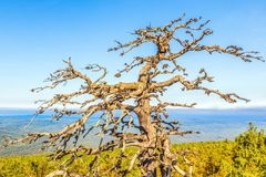 Old dry pine tree on a cliff top