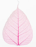 Old and dry pink Pho leaf detail Royalty Free Stock Images