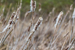 Old dry reed, nature field. Texture or background Stock Photo