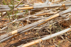 Old dry reeds lie on the ground Stock Image