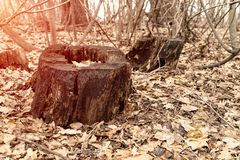 Old dry stump in a deserted autumn forest Royalty Free Stock Image