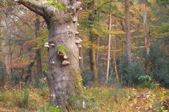 Old  tree in autumn forest Royalty Free Stock Photo